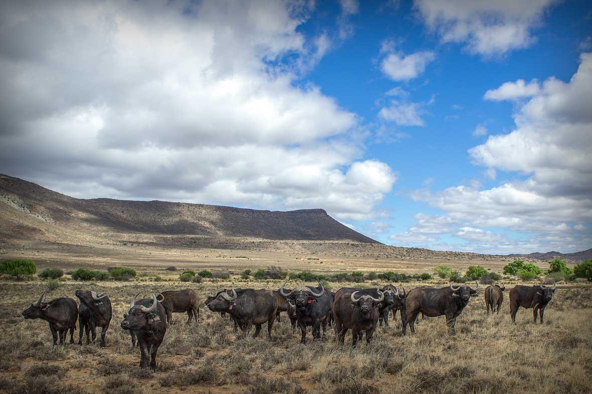 Buffalo bulls cows Karoo